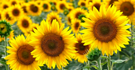 How Researchers Spin Sunflower Pollen into Medical Engineered Tissue Gold